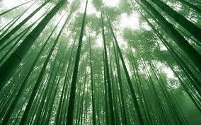 bosque bambu materia prima